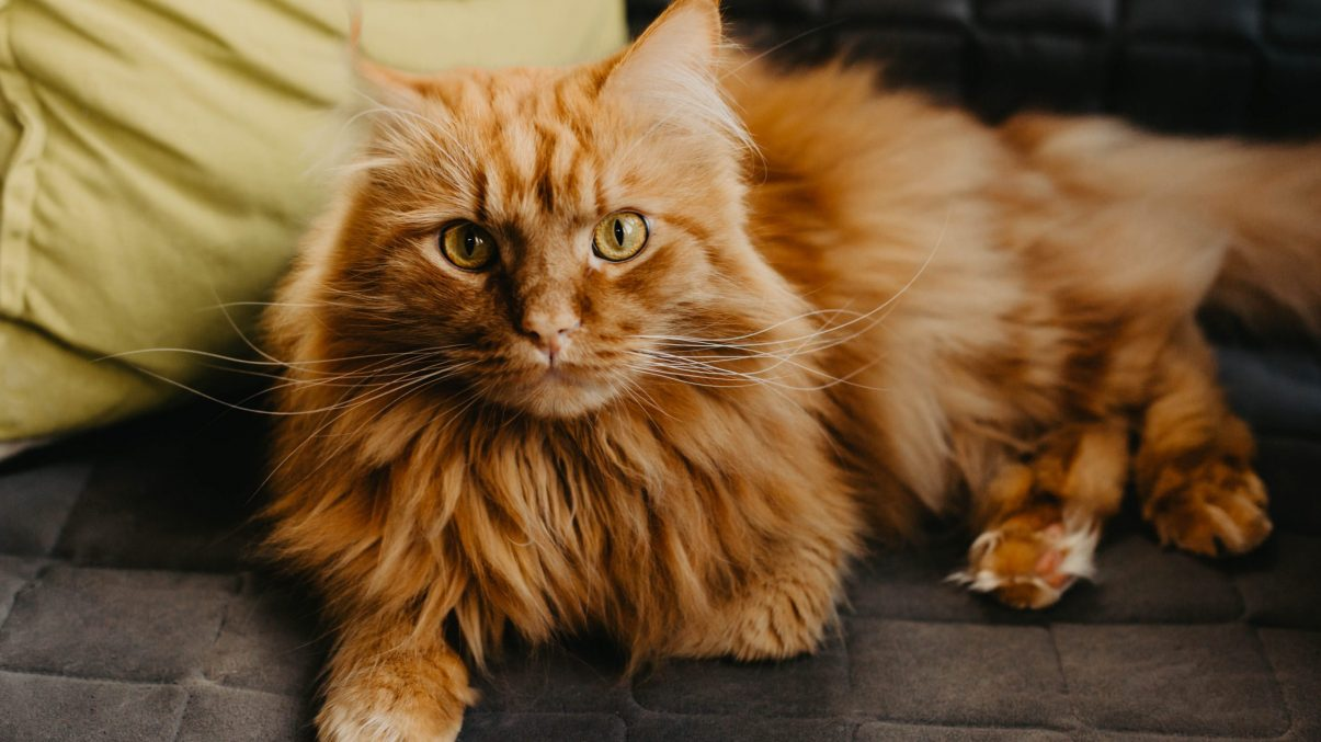 Maine coon red cat with green eyes in the home interior. Gray sofa, pillow, comfort, autumn mood, friendly pet.